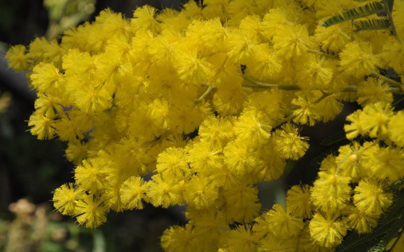 Il fiore del mese, la mimosa