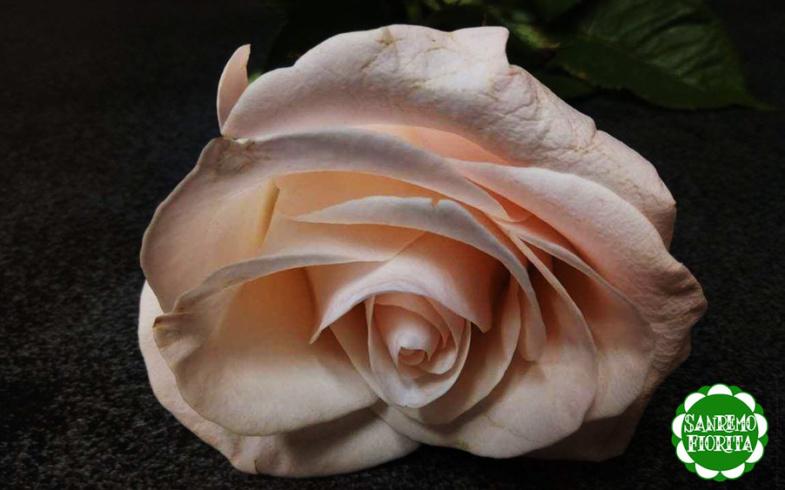 Il fiore del mese, la rosa