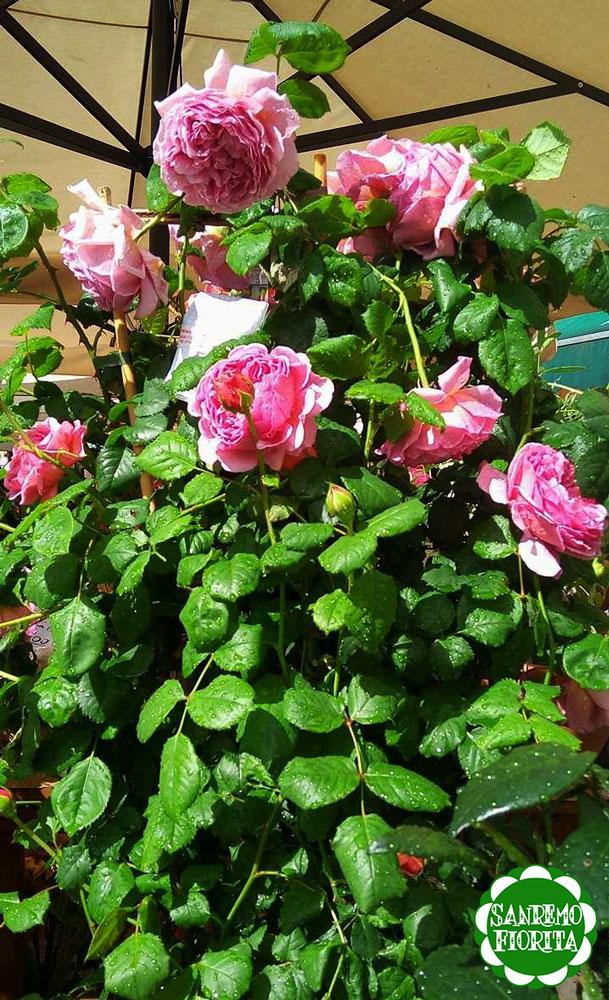 Il fiore del mese di maggio la rosa sanremofiorita - Compost casalingo ...