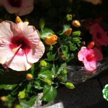 hibiscus_rosa