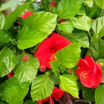 hibiscus_rosso