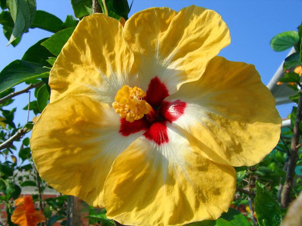 Il fiore del mese di luglio l 39 ibisco sanremofiorita for Ibisco rosso