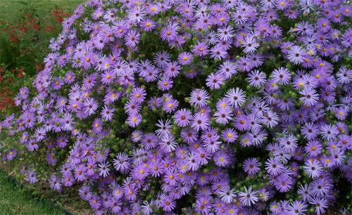 Il fiore del mese di settembre: gli astri o settembrini