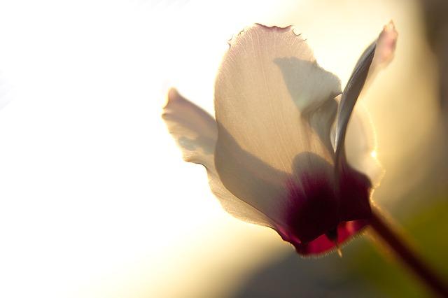 Il fiore del mese di ottobre: i ciclamini