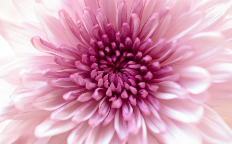 I fiori del mese di novembre: i Crisantemi