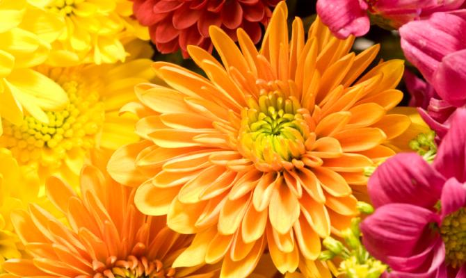 I fiori del mese di novembre i crisantemi sanremofiorita for Immagini fiori autunnali