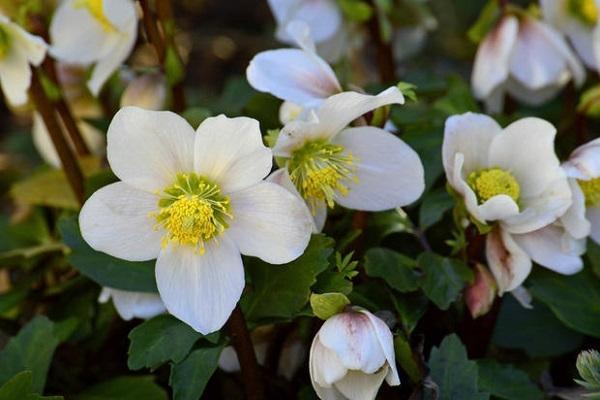 Il fiore del mese di gennaio, l'Elleboro